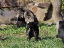 macaque León-atado que recoge las frutas - vista lateral Fotografía de archivo libre de regalías