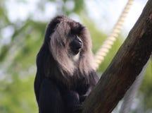 macaque León-atado, silenus del Macaca fotografía de archivo