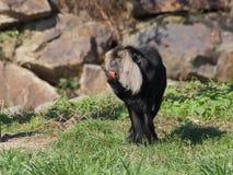 macaque León-atado que come las frutas - vista delantera Fotografía de archivo