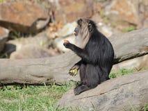 macaque León-atado que come las frutas - vista lateral Fotografía de archivo