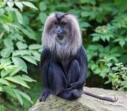 macaque Leone-munito (silenus del Macaca) Fotografia Stock