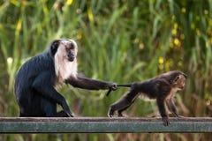 macaque Lion-coupé la queue avec le bébé, éducation des jeunes images libres de droits