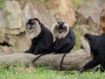 Macaque lion-coupé la queue par deux (silenus de Macaca) Image stock