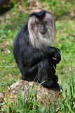 macaque Lion-coupé la queue (silenus de Macaca), également connu sous le nom de wanderoo photo stock
