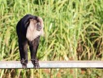 macaque Lion-coupé la queue sur le banc Photo stock