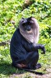 macaque Lion-suivi Image stock