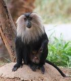 Macaque lion-suivi par singe indien mis en danger Photographie stock libre de droits