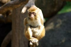 Macaque. Little Macaque eatting Melon seed Stock Photography