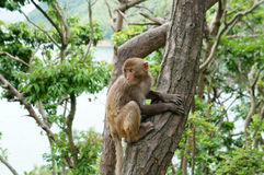 Macaque. Little macaque on the tree Royalty Free Stock Image