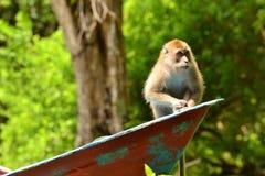 Macaque Royalty Free Stock Photos