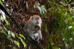 macaque Long-coupé la queue de Crabe-consommation de Macaque allaitant un bébé s Photographie stock libre de droits