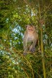 macaque Long-coupé la queue, en Thaïlande, Saraburi une réserve naturelle, Photographie stock libre de droits