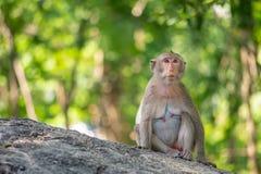 macaque Long-coupé la queue, en Thaïlande, Saraburi une réserve naturelle, Images stock