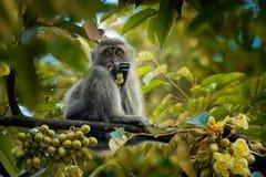Macaque Long-coupé la queue - les fascicularis de Macaca également connus sous le nom de macaque de crabe-consommation, un indigè image libre de droits