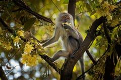 Macaque Long-coupé la queue - les fascicularis de Macaca également connus sous le nom de macaque de crabe-consommation, un indigè photo libre de droits
