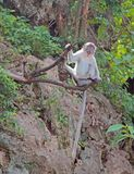 Macaque with long tail is sitting on a tree Royalty Free Stock Images