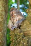 Macaque Long-tailed Image stock
