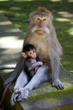 Macaque Long-tailed Photographie stock libre de droits