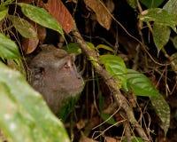 Macaque Long-tailed foto de stock