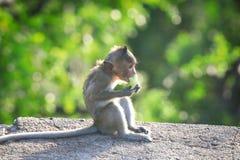 Macaque Long-tailed Foto de archivo