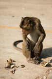 Macaque Long-tailed Imagen de archivo libre de regalías