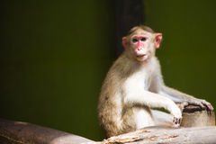 Macaque Long-tailed Imagem de Stock