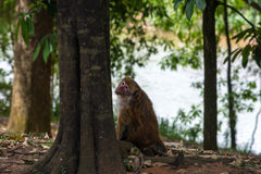 Macaque looked Royalty Free Stock Images