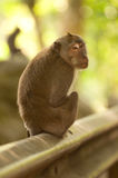 Macaque looking backwards Stock Image