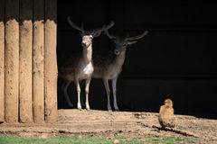 Macaque looking at two stags in shed Stock Photo