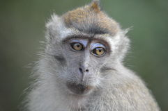 Macaque looks. Macaque with big wide eyes stares into the distance Royalty Free Stock Images