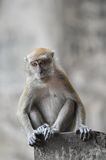 Macaque looks. A macaque leans to get a better view Stock Photo