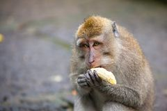 Cute monkeys lives in Ubud Monkey Forest, Bali, Indonesia. Royalty Free Stock Photography
