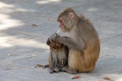Macaque or Macaca Eating Biscuits stock image