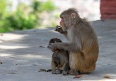 Macaque or Macaca Eating Biscuits royalty free stock photo