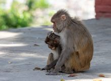 Macaque or Macaca Eating Biscuits royalty free stock image