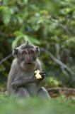 Macaque (Macaca fascicularis) Befestigungsklammer-essen Stockfoto
