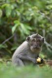 Macaque (Macaca fascicularis) Befestigungsklammer-essen Lizenzfreies Stockfoto