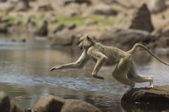 Macaque (Macaca fascicularis) jumping from rock to rock Stock Photography
