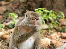 Macaque  (Macaca fascicularis) Stock Photography