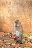 Macaque  (Macaca fascicularis)  Thailand, Wat Thumsa Stock Photography