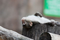 macaque macaca fuscata японский Стоковая Фотография RF