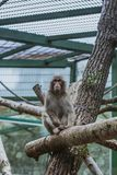Macaque, Macaca maura, sitting on branch in zoo royalty free stock image