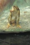 Macaque /Macaca nemestrina/. Macaque on the rock drunken water Stock Image