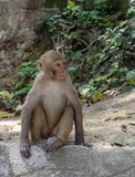 Macaque or Macaca Sitting on Wall stock photography
