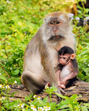 Macaque Mama and Baby Stock Photos