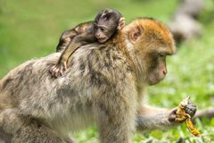 Macaque, Mammal, Fauna, Primate Royalty Free Stock Image
