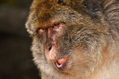 Macaque, Mammal, Fauna, Wildlife Stock Photos