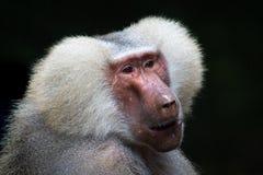 Macaque, Mammal, Primate, Baboon Stock Photo