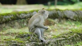 Macaque mangeant la banane au zoo banque de vidéos