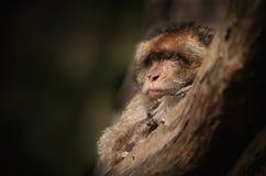 Macaque masculino de Barbary. Imagenes de archivo